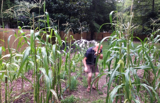 Jim Knight, growing flint maize in his garden, summer of 2014.