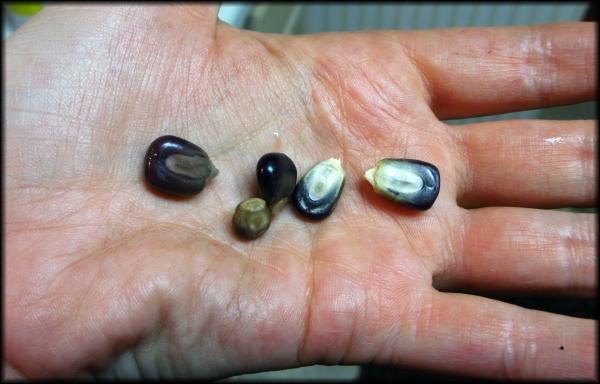 cooked kernels versus dried, 5Border
