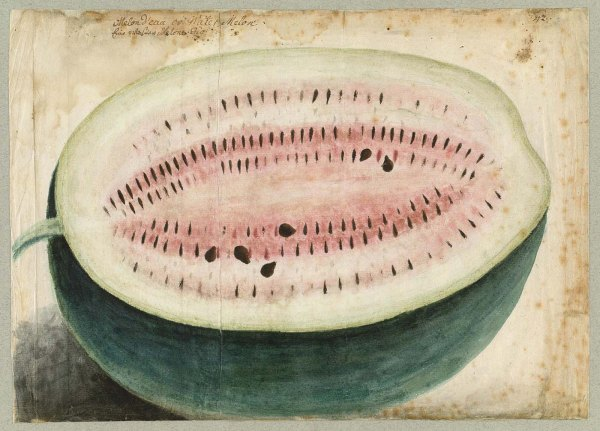 Philip Georg Friedrich von Reck's 1736 watercolor of a watermelon, the inspiration for my poster!